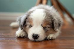 two month old mini aussie puppy