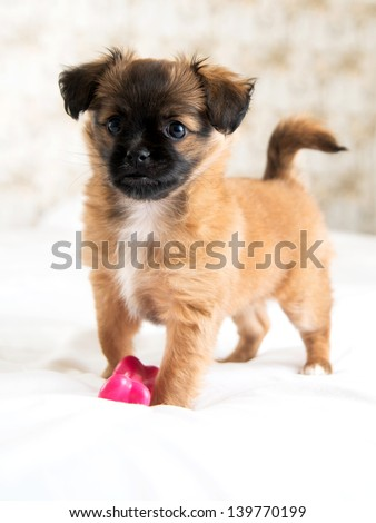 Two Month Old Pekingese and Chihuahua Mix Puppy Playing with Pink Rubber Toy on White Bed