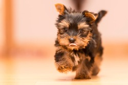 Two month old Yorkshire Terrier puppy