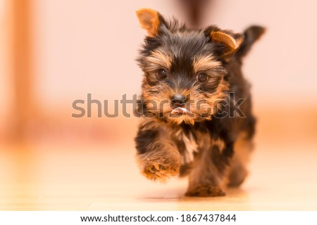 Two month old Yorkshire Terrier puppy Stock fotó ©