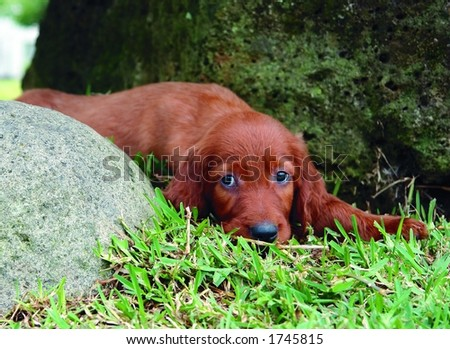 Irish Setter Puppies on Two Months Old Pure Breed Red Irish Setter Puppy Laying In The Grass