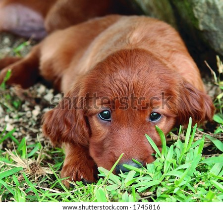 Irish Setter Puppies on Pure Breed Red Irish Setter Puppy Laying In The Grass And Looking Cute