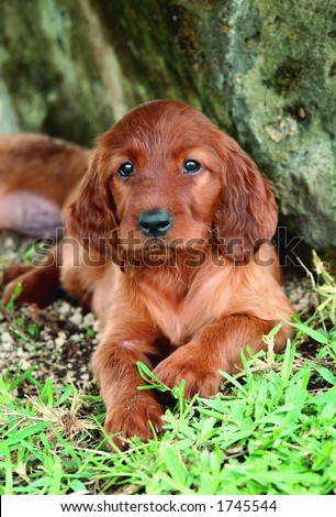 Two months old pure breed red irish setter puppy laying next to a rock