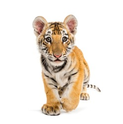 Two months old tiger cub walking against white background
