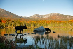 Two moose in a northern New England Pond