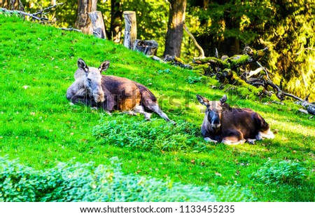 Two moose lie on grass. Moose in nature. Moose in forest scene
