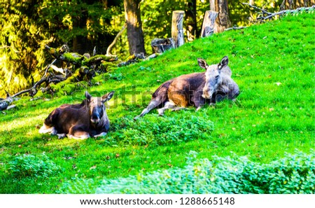 Two moose resting. Moose on nature