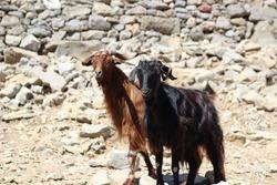 two mountain goats