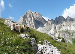 Two mountain goats in the Italian Dolomites