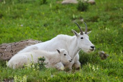 Two mountain goats mother and kid in green alpine meadow with grass and flowers Glacier National Park, Montana