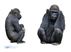 Two Mountain Gorillas and Newspaper Isolated on White Background