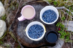 Two mugs of white tea with milk and black coffee stand in the forest on a stump next to the wild blueberries collected in buckets and knees resting tourist in the North.