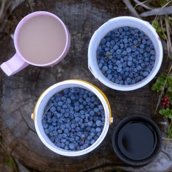 Two mugs of white tea with milk and black coffee stand on a stump next to a wild blueberry, collected in buckets and growing in the grass berry Northern cowberry.