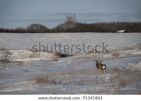 two mule deer look back while crossing a field in the dead of winter
