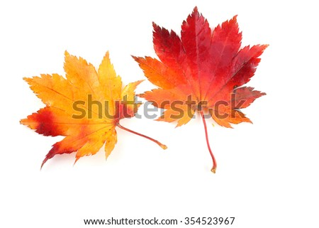 Two multicolor autumn leaves