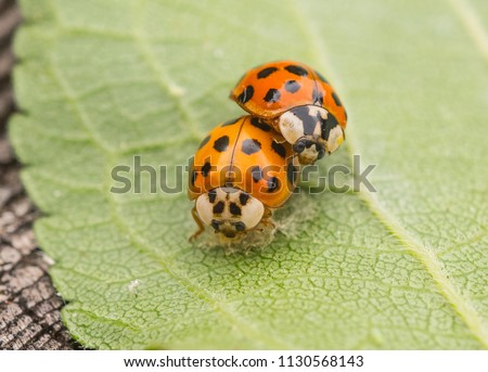 Two Multicolored Asian Lady Beetles mating (Harmonia axyridis)