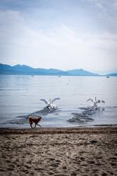 Two mute swan running away from dog. Cygnus olor. Lausanne, Switzerland.