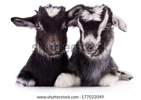 two newborn goat. farm animal. Isolated on white background stock photo