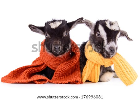 two newborn goat with clothes. farm animal. Isolated on white background stock photo
