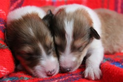 Two newborn puppies cuddling together