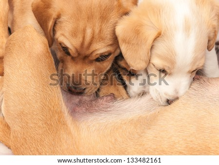 Two newborn puppies drinking milk from their mother dog.
