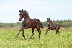 Two nice friesian foals running on meadow