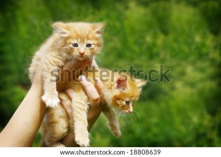 two nice orange kittens in hands