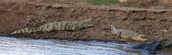 two Nile crocodiles lie with their mouths wide open on the muddy brown edge of the river bank of the Mara River