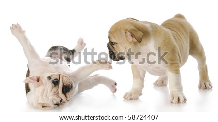two nine week old english bulldog puppies playing with reflection on white background