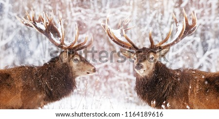 Two noble deer males against the background of a beautiful winter snow forest. Artistic winter landscape. Christmas image.