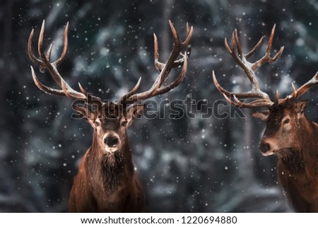 Two noble deer males against the background of a beautiful winter snow forest. Winter wonderland. Christmas image.