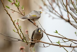 Two noisy miner birds perched on a blossom tree, in Adelaide, South Australia