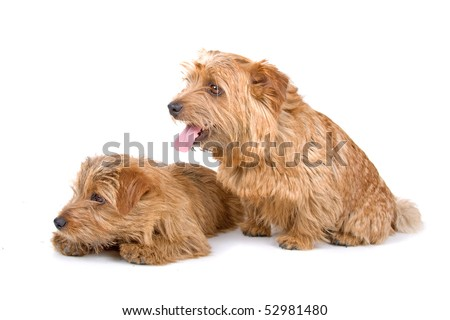 Norfolk Terrier Puppies on Two Norfolk Terrier Dogs Isolated On A White Background Stock Photo