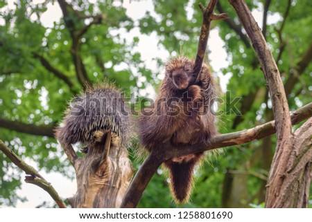 Two North American porcupine (Erethizon dorsatum), Canadian porcupine or common porcupine climb on the tree