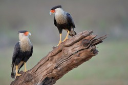 Two Northern Crested Caracara (Caracara cheriway) perched, Texas, USA