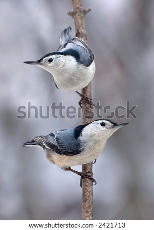 Two Nuthatches are perched on a branch.