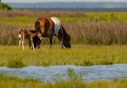 Two of the wild ponies on Assateague Island forage in marsh at the waters edge
