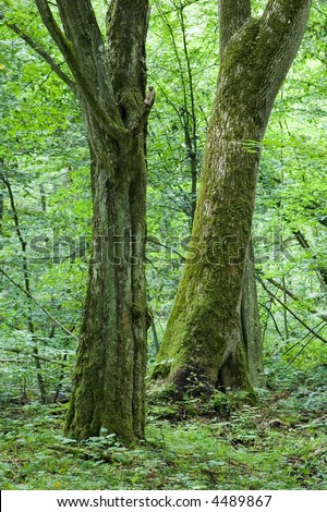 Two old deciduous trees inside forest against young fresh green trees