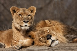Two Old Lion Friends