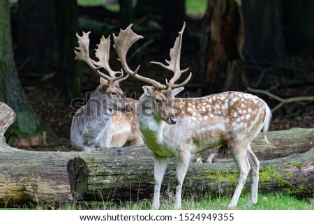 Two old stags of fellow deer in the rut season in autumn  #1524949355