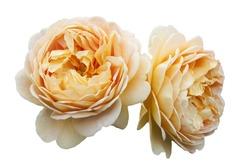 Two orange fluffy flower roses, on white isolated background