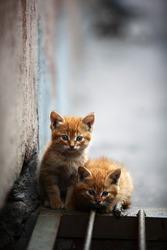 Two orange kitten outdoor