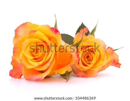 Two orange roses  isolated on white background cutout