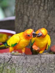 Two orange sun conures sharing a piece of fruit