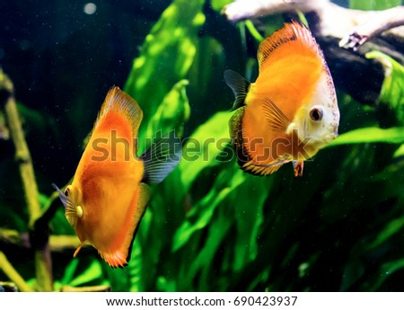Two Orange Tropical Fish From The Amazon River Symphysodon