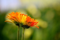 Two orange yellow colored Gerbera flowers also known as Gerbera daisies on green blurry background. Used selective focus.