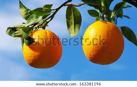 Two oranges on tree