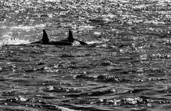 "Two Orcas (Orcinus orca) or ""Killer Whales"" showing their dorsal fins on a Whale Watching excursion from Olafsvik Harbour on western Snæfellsnes Peninsula Iceland, back lit black and white"