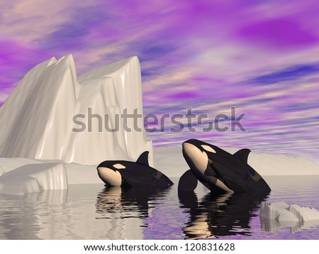 Two orcas swimming among icebergs by cloudy weather