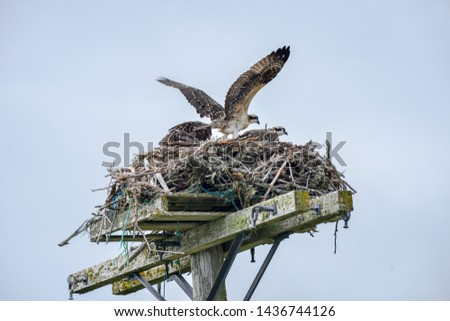 Two osprey make a large nest from sticks and tree branches on top of a telephone pole. One bird has its wings spread open and the other is perched.